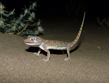 Middle Eastern short-fingered gecko licking its eye Adult,Carnivorous,Reptilia,Asia,Desert,Least Concern,Stenodactylus,Chordata,Africa,Terrestrial,IUCN Red List,Animalia,Gekkonidae,Squamata