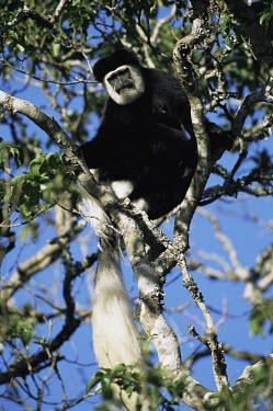 Colobus monkey Adult,Arboreal,Mammalia,Endangered,Primates,guereza,Least Concern,Appendix II,Data Deficient,Chordata,Animalia,Omnivorous,Colobus,Africa,Cercopithecidae,Forest,Mountains,Riparian,IUCN Red List