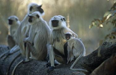 Langur monkeys resting on log