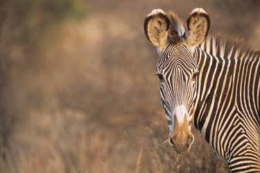 Grevy's zebra portrait Perissodactyla,Odd-toed Ungulates,Chordates,Chordata,Mammalia,Mammals,Equidae,Horses, Donkeys, Zebras,Appendix I,grevyi,Savannah,Terrestrial,Animalia,Equus,Semi-desert,Herbivorous,Africa,Endangered,IU