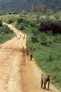 Yellow baboon troop on track Chordates,Chordata,Old World Monkeys,Cercopithecidae,Primates,Mammalia,Mammals,Omnivorous,Sub-tropical,Carnivorous,Savannah,Least Concern,Africa,Appendix II,cynocephalus,Animalia,Papio,Terrestrial,IUC