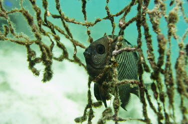 A damsel fish caught on an old fishing net that was left on the reef.