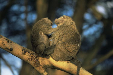 Olive baboons grooming Primates,Old World Monkeys,Cercopithecidae,Mammalia,Mammals,Chordates,Chordata,Appendix II,Least Concern,Omnivorous,Terrestrial,Forest,Animalia,anubis,Papio,Africa,IUCN Red List