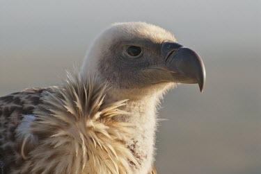 Cape vulture portrait Species in habitat shot,Habitat,Adult,Aves,Africa,Carnivorous,Terrestrial,Falconiformes,Rainforest,Gyps,Chordata,Vulnerable,Desert,Appendix II,Flying,Sub-tropical,Agricultural,Temperate,coprotheres,An