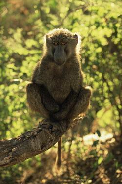 Young olive baboon portrait Primates,Old World Monkeys,Cercopithecidae,Mammalia,Mammals,Chordates,Chordata,Appendix II,Least Concern,Omnivorous,Terrestrial,Forest,Animalia,anubis,Papio,Africa,IUCN Red List