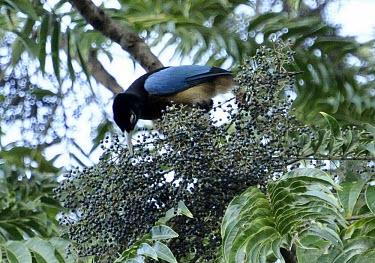 Blue bird-of-paradise foraging Feeding behaviour,Species in habitat shot,Habitat,Adult,Feeding,Bird-of-paradise,Paradisaeidae,Perching Birds,Passeriformes,Chordates,Chordata,Aves,Birds,rudolphi,Appendix II,Vulnerable,Herbivorous,Su