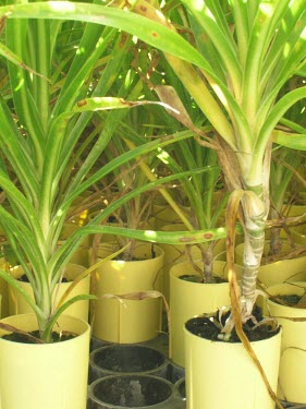 Nursery pots containing immature halapepe trees Conservation,Immature form,Tracheophyta,Dracaenaceae,Plantae,auwahiensis,Liliales,Forest,Photosynthetic,Vulnerable,Pleomele,Liliopsida,Terrestrial,Pacific,IUCN Red List
