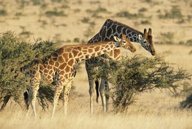 Reticulated giraffes browsing Even-toed Ungulates,Artiodactyla,Chordates,Chordata,Mammalia,Mammals,Giraffidae,Giraffes,Terrestrial,Africa,Cetartiodactyla,Savannah,Herbivorous,Endangered,camelopardalis,Animalia,Giraffa,Least Concer