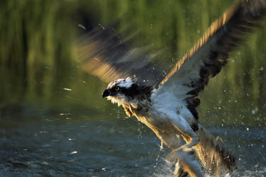 Osprey fishing Aves,Birds,Accipitridae,Hawks, Eagles, Kites, Harriers,Ciconiiformes,Herons Ibises Storks and Vultures,Chordates,Chordata,Ponds and lakes,Carnivorous,North America,Wildlife and Conservation Act,Asia,L