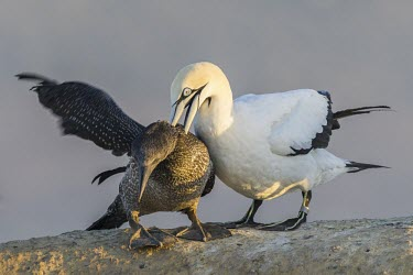 Adult Cape Gannet attacking a recently fledged juvenile and forcing it into submission Intra-specific behaviours,Terrestrial,Sulidae,Shore,Carnivorous,Atlantic,Aves,Ocean,Indian,Vulnerable,Africa,Coastal,Flying,Pelecaniformes,Chordata,Animalia,Morus,capensis,IUCN Red List
