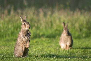 Rabbits on alert Rabbits, Hares,Leporidae,Mammalia,Mammals,Lagomorpha,Hares and Rabbits,Chordates,Chordata,Herbivorous,Africa,Common,Scrub,North America,cuniculus,Oryctolagus,South America,Animalia,Australia,Sand-dune