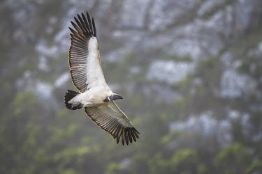 Cape vulture soaring Flying,Locomotion,Soaring,Aves,Africa,Carnivorous,Terrestrial,Falconiformes,Rainforest,Gyps,Chordata,Vulnerable,Desert,Appendix II,Sub-tropical,Agricultural,Temperate,coprotheres,Animalia,Accipitridae