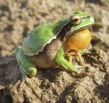 Lemon-yellow tree frog vocalising Intra-specific behaviours,What does it sound like ?,Reproduction,Adult,Mating or Territorial calls,Meetings with others of same species,Winning or protecting territory,Courtship and Displays,Rock,Chor