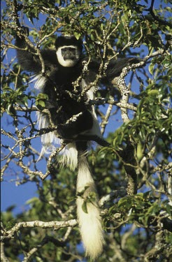 Guereza Monkey Climbing,Locomotion,Adult,Arboreal,Mammalia,Endangered,Primates,guereza,Least Concern,Appendix II,Data Deficient,Chordata,Animalia,Omnivorous,Colobus,Africa,Cercopithecidae,Forest,Mountains,Riparian,I