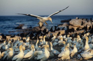 Cape gannet landing in colony Landing,Habitat,Locomotion,Intra-specific behaviours,Flying,Meetings with others of same species,Species in habitat shot,Breeding habitat,Morus capensis,Cape gannet,Chordates,Chordata,Pelicans and Cor