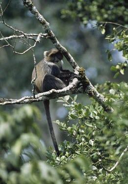 MOUNT KENYA SYKES' MONKEY Adult,Mammalia,Terrestrial,Animalia,Omnivorous,Cercopithecidae,Chordata,Least Concern,Forest,Africa,Primates,Cercopithecus,IUCN Red List