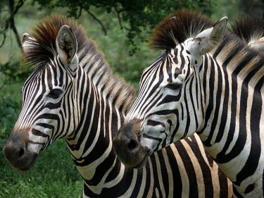 Burchell's zebras (Equus quagga burchellii) Zebra,Burchell's Zebra,Equus quagga burchellii,foal