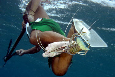 Spearfisher holding a lobster between his toes