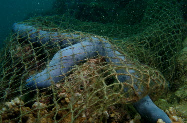 A net that was caught on a reef trapped a sea star