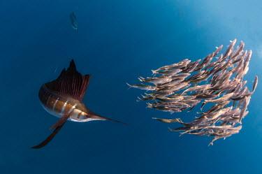 Sailfish hunting sardines off the coast of Mexico