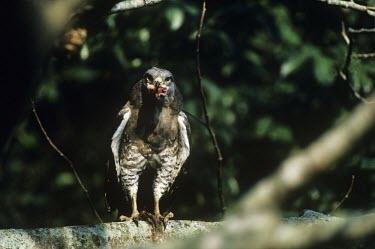 Southern banded snake-eagle with prey Feeding,Southern banded snake-eagle,Circaetus fasciolatus,Chordates,Chordata,Falconiformes,Hawks Eagles Falcons Kestrel,Accipitridae,Hawks, Eagles, Kites, Harriers,Aves,Birds,Circa�te barr�,Sub-tropic