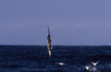 Immature Cape gannet diving into the sea Diving,Locomotion,Flying,Immature Adult,Terrestrial,Sulidae,Shore,Carnivorous,Atlantic,Aves,Ocean,Indian,Vulnerable,Africa,Coastal,Pelecaniformes,Chordata,Animalia,Morus,capensis,IUCN Red List
