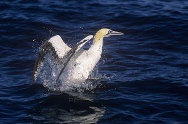Cape gannet in the sea Adult,Terrestrial,Sulidae,Shore,Carnivorous,Atlantic,Aves,Ocean,Indian,Vulnerable,Africa,Coastal,Flying,Pelecaniformes,Chordata,Animalia,Morus,capensis,IUCN Red List