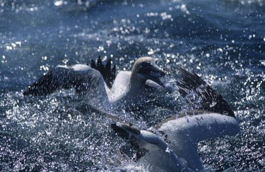 Cape gannet, having caught a fish Feeding behaviour,Feeding,Terrestrial,Sulidae,Shore,Carnivorous,Atlantic,Aves,Ocean,Indian,Vulnerable,Africa,Coastal,Flying,Pelecaniformes,Chordata,Animalia,Morus,capensis,IUCN Red List