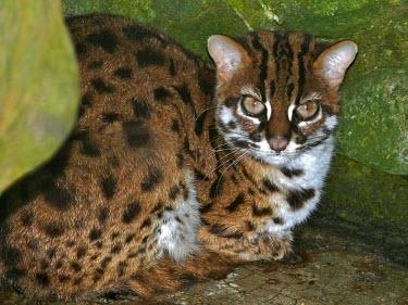 Leopard Cat (Prionailurus bengalensis borneoensis) Leopard Cat,Prionailurus bengalensis borneoensis,Captive
