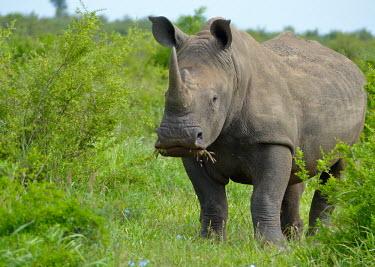 White rhinoceros (Ceratotherium simum) White rhinoceros,Ceratotherium simum,Rhinocerous,Rhinocerotidae,Perissodactyla,Odd-toed Ungulates,Mammalia,Mammals,Chordates,Chordata,Appendix II,Scrub,simum,Terrestrial,Savannah,Near Threatened,Afric