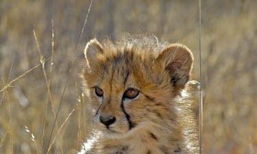 Cheetah cub (Acinonyx jubatus) Cheetah,Acinonyx jubatus,cub,Chordates,Chordata,Carnivores,Carnivora,Mammalia,Mammals,Felidae,Cats,jubatus,Savannah,Appendix I,Africa,Acinonyx,Critically Endangered,Carnivorous,Terrestrial,Animalia,En