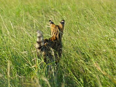 Serval (Leptailurus serval) Serval,Leptailurus serval,Felidae,Cats,Mammalia,Mammals,Carnivores,Carnivora,Chordates,Chordata,Leptailurus,Least Concern,Africa,Savannah,Carnivorous,Animalia,serval,Terrestrial,Appendix II,IUCN Red L