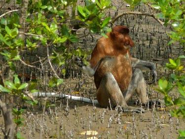 Proboscis monkey, male (Nasalis larvatus) Proboscis monkey,Nasalis larvatus,Mammalia,Mammals,Old World Monkeys,Cercopithecidae,Primates,Chordates,Chordata,Animalia,larvatus,Nasalis,Asia,Endangered,Appendix I,Rainforest,Herbivorous,Terrestrial