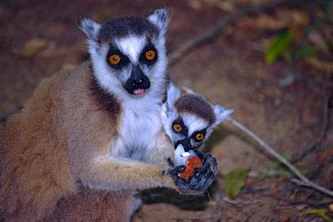 Ring-tailed lemurs (Lemur catta), female and young feeding Ring-tailed lemur,Lemur catta,Chordates,Chordata,Lemuridae,Mammalia,Mammals,Primates,Animalia,Appendix I,Near Threatened,Arboreal,Africa,Rock,Lemur,Terrestrial,Herbivorous,Temperate,Scrub,catta,IUCN R