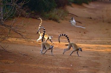 Ring-tailed lemurs (Lemur catta) Ring-tailed lemur,Lemur catta,Chordates,Chordata,Lemuridae,Mammalia,Mammals,Primates,Animalia,Appendix I,Near Threatened,Arboreal,Africa,Rock,Lemur,Terrestrial,Herbivorous,Temperate,Scrub,catta,IUCN R