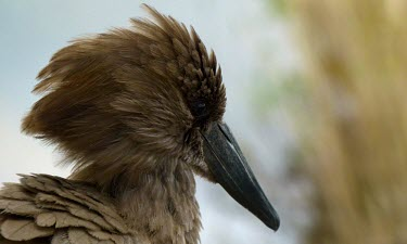 Hamerkop (Scopus umbretta) Hamerkop,Scopus umbretta,Carnivorous,Aquatic,Flying,Chordata,Scopidae,umbretta,Arboreal,Streams and rivers,Savannah,Fresh water,Terrestrial,Least Concern,Ponds and lakes,Wetlands,Pelecaniformes,Scopus