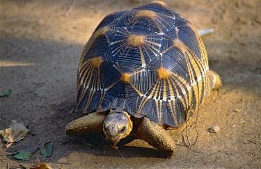 Radiated Tortoise (Astrochelys radiata) Radiated Tortoise,Astrochelys radiata,Terrestrial,Africa,Animalia,Astrochelys,Critically Endangered,Forest,Appendix I,Reptilia,Herbivorous,radiata,Testudinidae,Chordata,Testudines,IUCN Red List