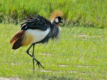 Grey Crowned Crane (Balearica regulorum) Grey Crowned Crane,Balearica regulorum,regulorum,Gruidae,Streams and rivers,Aves,Ponds and lakes,Aquatic,CITES,Animalia,IUCN Red List,Wetlands,Omnivorous,Endangered,Grassland,Appendix II,Terrestrial,F