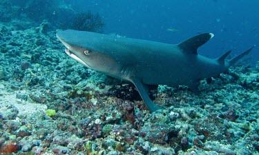 Whitetip Reef Shark (Triaenodon obesus) Whitetip Reef Shark,Triaenodon obesus,Triaenodon,Animalia,Carnivorous,Aquatic,Carcharhinidae,obesus,Near Threatened,Coral reef,Indian,Carcharhiniformes,Ocean,Chordata,Chondrichthyes,Pacific,IUCN Red L