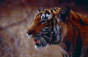 Tigress (Panthera tigris) Tiger,Panthera tigris,Carnivores,Carnivora,Mammalia,Mammals,Chordates,Chordata,Felidae,Cats,Panthera,Tropical,Appendix I,tigris,Carnivorous,Extinct,Asia,Temperate,Animalia,Critically Endangered,Endang