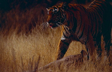 Tigress (Panthera tigris) with kill Tiger,Panthera tigris,Carnivores,Carnivora,Mammalia,Mammals,Chordates,Chordata,Felidae,Cats,Panthera,Tropical,Appendix I,tigris,Carnivorous,Extinct,Asia,Temperate,Animalia,Critically Endangered,Endang
