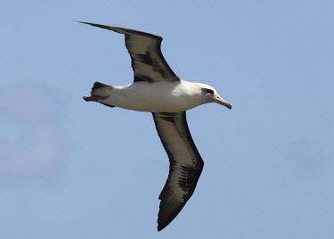 Laysan albatross in flight (Phoebastria immutabilis) flying,flight,Wild,Albatrosses,Diomedeidae,Ciconiiformes,Herons Ibises Storks and Vultures,Chordates,Chordata,Aves,Birds,Terrestrial,Ocean,immutabilis,Carnivorous,Shore,Aquatic,Coastal,Vulnerable,Proc