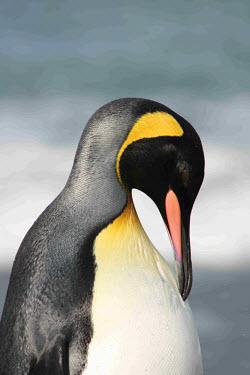 King penguin portrait portrait,head detail,Spheniscidae,Penguins,Ciconiiformes,Herons Ibises Storks and Vultures,Aves,Birds,Chordates,Chordata,Antarctic,Least Concern,Snow and ice,Ocean,Coastal,South America,Aptenodytes,Sp