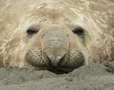 Portrait of a male southern elephant seal portrait,head detail,male,Carnivores,Carnivora,Phocidae,True Seals,Chordates,Chordata,Mammalia,Mammals,Carnivorous,South,Rock,Pacific,Atlantic,Least Concern,Ocean,Coastal,Shore,Appendix II,leonina,Ter