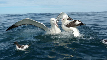 Wandering albatross interacting,water,Albatrosses,Diomedeidae,Chordates,Chordata,Ciconiiformes,Herons Ibises Storks and Vultures,Aves,Birds,Antarctic,Diomedea,Coastal,South,exulans,Aquatic,Flying,Terrestrial,Procellariif