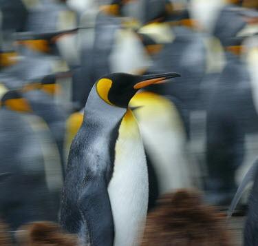 King penguin in colony Spheniscidae,Penguins,Ciconiiformes,Herons Ibises Storks and Vultures,Aves,Birds,Chordates,Chordata,Antarctic,Least Concern,Snow and ice,Ocean,Coastal,South America,Aptenodytes,Sphenisciformes,patagon