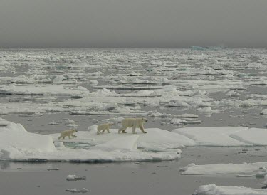 Female polar bear with cubs walking on sea ice mother,young,female,sea ice,climate change,Chordates,Chordata,Bears,Ursidae,Mammalia,Mammals,Carnivores,Carnivora,Snow and ice,North America,Europe,maritimus,Vulnerable,Carnivorous,Terrestrial,Ursus,A