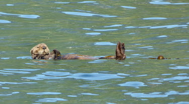 Sea otter floating on water floating,kelp,Mammalia,Mammals,Carnivores,Carnivora,Chordates,Chordata,Weasels, Badgers and Otters,Mustelidae,Vulnerable,Animalia,Pacific,lutris,Aquatic,Enhydra,North America,IUCN Red List,Appendix II
