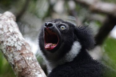 Indri perfoming territorial morning call territory,call,vocalisation,Indridae,Mammalia,Mammals,Chordates,Chordata,Primates,Rainforest,Terrestrial,Herbivorous,Indriidae,Animalia,Endangered,indri,Appendix I,Arboreal,Indri,Africa,IUCN Red List