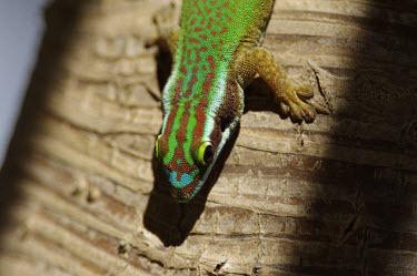 Reunion Island ornate day gecko, head detail gecko,Indian,Animalia,Reptilia,Gekkonidae,Appendix II,Squamata,Terrestrial,Phelsuma,Omnivorous,CITES,Chordata